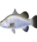 Seabas – 2cm (200 Nos)